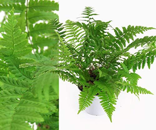 Isenzo Farne Zimmerpflanze Zimmerfarne Dryopteris 13 cm Topf Blätter - Mattgrün