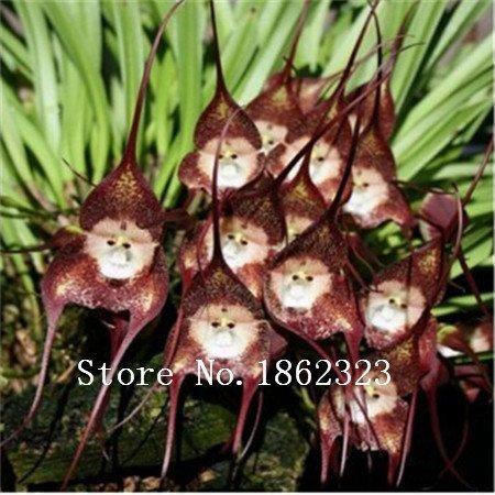 Belles orchidées visage de singe semences, les variétés multiples Bonsai fleurs Graines plantes Semences pour la maison et le jardin - 100 pcs graines