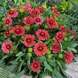 Best arizona red shades blanket flower Reviews
