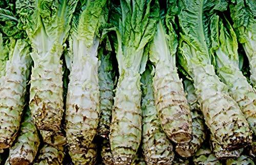 100 Celtuce Samen, Latuca sativa var. asparagina, Spargelsalat, chinesische Keule, Wosun