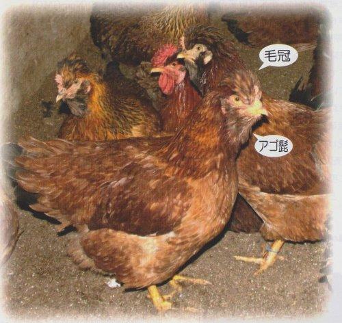 大分県産 おおいた冠地どり 丸鶏(中抜き) 2kg前後