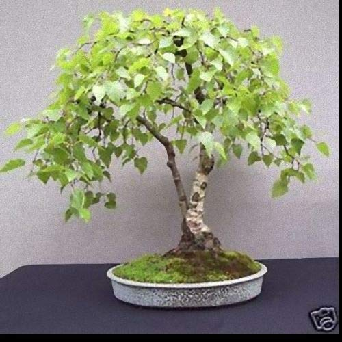 Portal Cool 25 Silver Birch Seeds: Bulk Verkauf Silver Birch Betula Pendula Bonsai Seed (25/1000 +) Bonsai