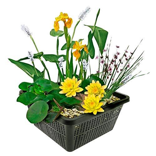 Mini-Teichpflanzen-Set - Gelb - 1 gelbe...