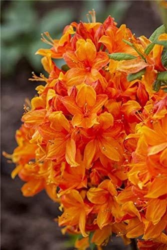 Rhododendron lut. 'Golden Eagle' Sommergrüne Azalee 40-60cm im Topf gewachsen
