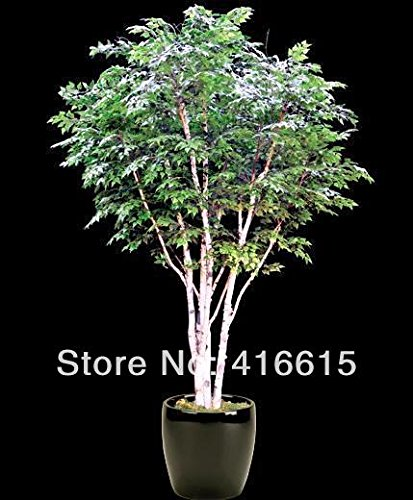 40 Pcs Mini belles graines Canoe / Birch Paper Bonsai Tree - Betula Papyfera