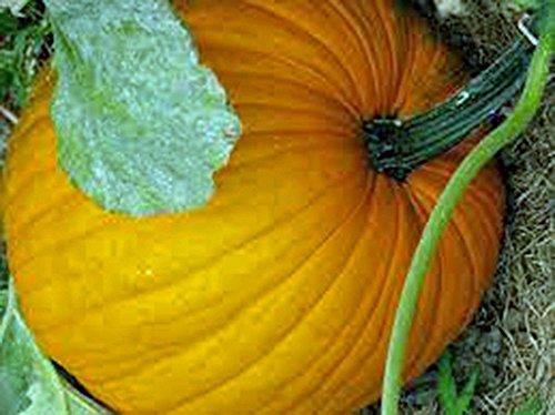 Citrouille Big Max Curcubita Maxima non OGM Heirloom Vegetable 20 graines par Sow Sans OGM