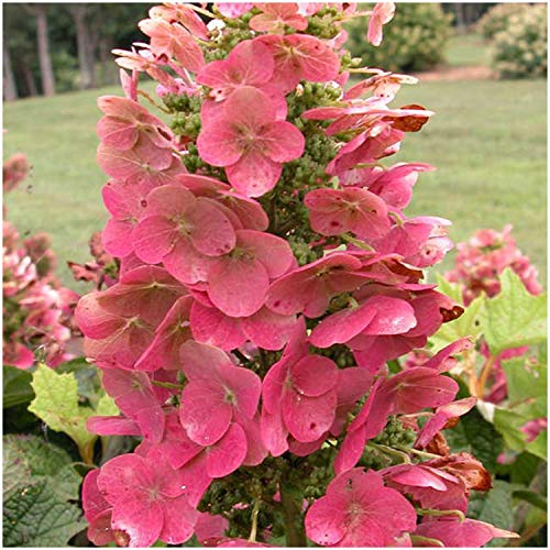 1 Gallon Potted ASR Plant Hydrangea, Live Healthy Plants, Old Fashion, Floral (Ruby Slippers)