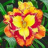 Bulbos de lirio de día,Reblooming Plantas exóticas Ropa de cama Impresionante-15Bulbos