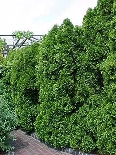 American Arborvitae, Thuja occidentalis, Tree 600 Seeds (Evergreen Hedge)