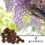 Blauregen Wisteria Samen 50 St. von growbro - Pflanze deinen eigenen Wald - winterhart, Bonsai Baum, Premium Saatgut