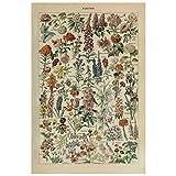 cluis Art Vintage Posterdruck Biologie Botanische