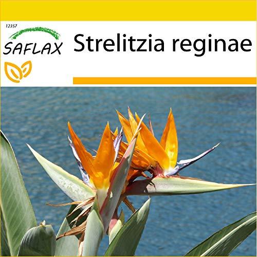 SAFLAX - Set de cultivo - Ave del paraíso - 5 semillas - Con mini-invernadero, sustrato de cultivo y 2 maceteros - Strelitzia reginae