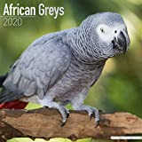 African Greys - Graupapageien 2020: Original Avonside-Kalender [Mehrsprachig] [Kalender] (Wall-Kalender) - Avonside Publishing
