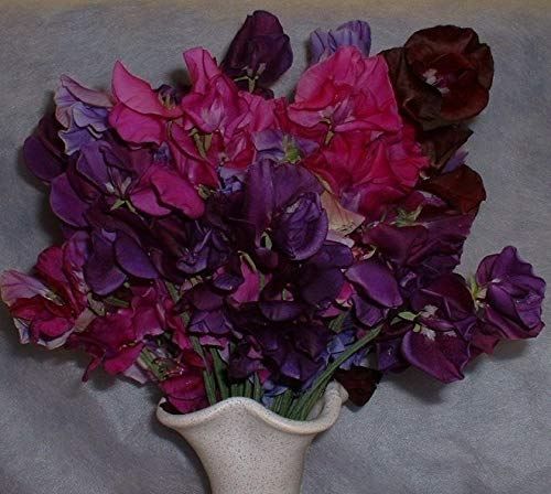 Portal Cool Kings Seeds - Sweet Pea, Blue Monday - 20 graines
