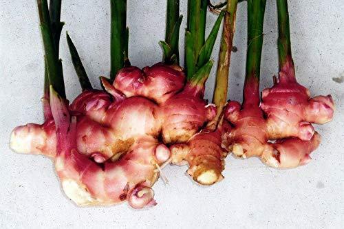 種ショウガ 赤芽大しょうが 約500g入