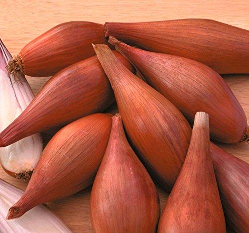 Echalote oignons Graines (CEPA) de culture biologique vivaces herbes NON-OGM