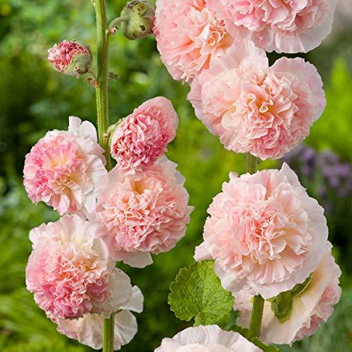 Portal Cool 100 graines: Yarrow blanc non Ogm Heirloom comestibles Graines Thérapeutique Flower Garden Sow Pas Gmo