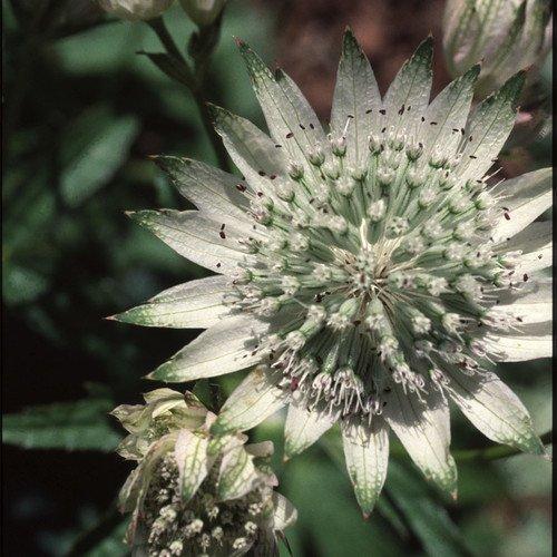 Plant World Seeds - Astrantia Major Seeds