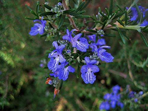 Rosmarin officinalis 3 Stück winterharte Aroma-Staude Bodendecker T9x9