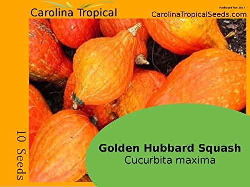 Or Hubbard Squash - Golden citrouille (Cucurbita maxima de) - 10 Seed Count