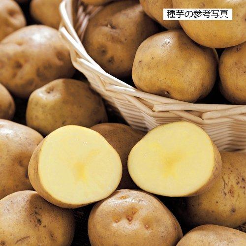 ジャガイモ・キタアカリの種芋 (2kg)