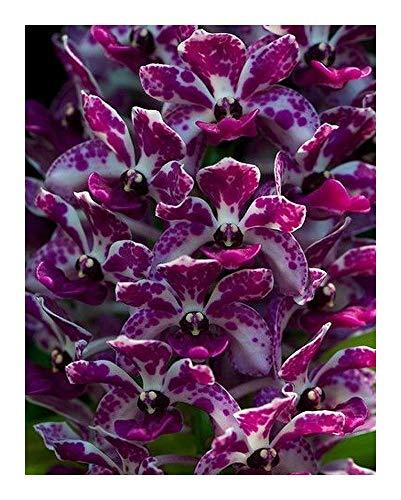 Rhynchostylis gigantea purple-blue - Orchidées - 100 graines