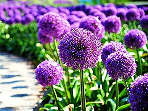 50pcs Blue Purple Giant Allium Giganteum Onion Flower Seeds Garden Spring Plant Decoration