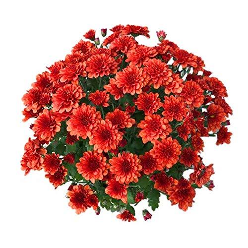 China Red Aster Blumensamen 50 Stück (Callistephus chinensis) Bio Frische Premium Einfach zu züchtende Pflanzen Samen zum Pflanzen Garten Outdoor Bonsai
