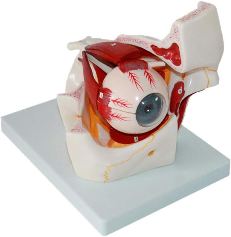 XHLLX Plantilla de Ojos Humanos, ampliada 3 Veces, en 10 Juegos para Aprender la anatomía de la Bola