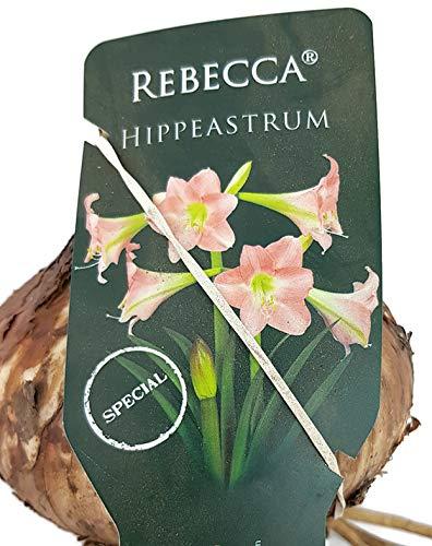Fangblatt - Hippeastrum 'Rebecca' - zart rosa Amaryllis - Pflegeleichte Blumenzwiebel - fantastischer Ritterstern
