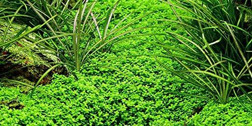 Tropica Aquarium Pflanze Hemianthus callitrichoides Cuba Wasserpflanzen Nr.048B