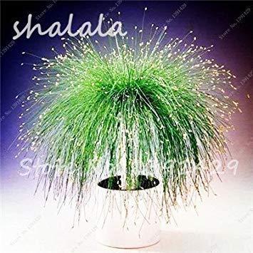 Potseed 200 PC Multi Color Garten Ziergrassamen Schöne Grassamen, Samen, natürliche Wachstum, die Keimungsrate 95% 23