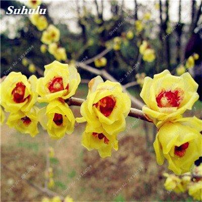 5 pièces rares Couleur vivaces Wintersweet graines, fleurs de pruniers, Rouge Blanc Jaune Rose Calyx Canthus Fleur Graine-Terre Miracle
