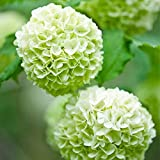 semi di fiori di ortensia verde chiaro 20 pezzi perenni biologici freschi facili da coltivare piante semi di fiori per piantare giardino da giardino all'aperto al coperto