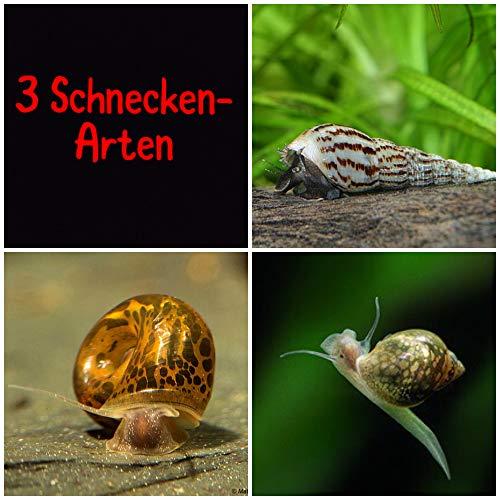 aquarz 3er Schneckenputztrupp Posthornschnecken Blasenschnecken Turmdeckelschnecken für das Aquarium je Art 3 Junge Schnecken