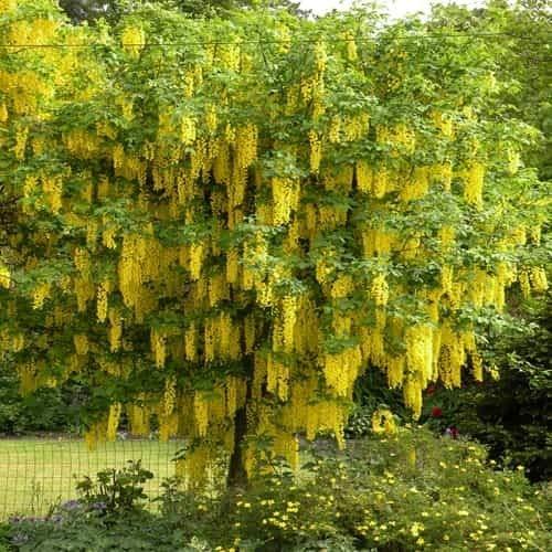 TOMASA Jardin-Laburnum, plantas trepadoras semillas de flores resistentes perennes arbustos ornamentales rarezas...