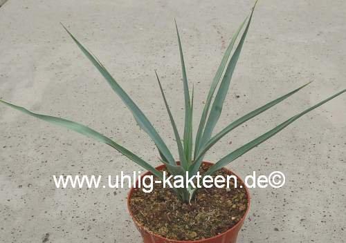 Yucca rostrata (dw) 20 cm x 30 cm
