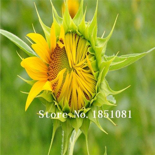 50pcs Helianthus Red Graines de tournesol Red Sun Fortune Bloom Garden Heirloom Seeds fleurs Graines