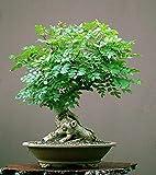 Tree of Life Bonsai Seeds | 20+ Seeds | Grow a Moringa Tree Bonsai, Highly Nutritious Leaves and Seeds, Edible and Tasty. Ships from Iowa, USA