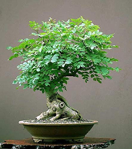 Tree of Life Bonsai Seeds | 20+ Seeds | Grow a Moringa Tree Bonsai, Highly Nutritious Leaves and Seeds, Edible and Tasty. Ships from Iowa, USA