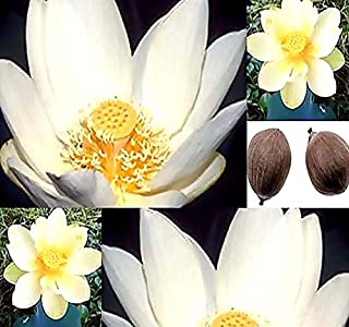 American Lotus Seeds - Nelumbo lutea - Perennial Yellow Lotus Water-Chinquapin Very Cold Hardy Zones 4+ (American Lotus (5 Seeds) X 1 Packet)