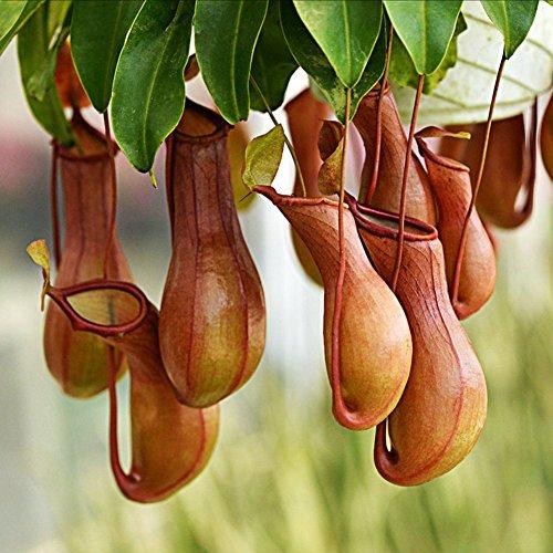 Delaman Rare Nepenthes Seeds Pichet Carnivore Plante ou Maison Jardin Décor 20pcs