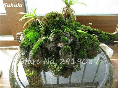 100 Pcs rares mousse verte Graines exotiques Graines Bonsai Moss Belle Moss Boule décorative Jardin créatif herbe Graines Plante en pot 8
