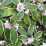 Daphne Odora 'Aureomarginata'- Bois-joli odorant 'Aureomarginata' 20-25 cm en conteneur