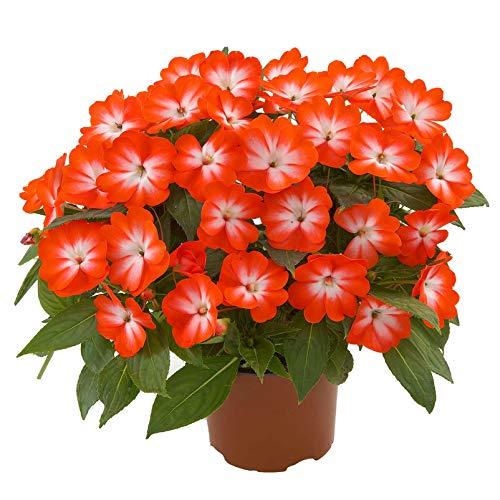 Pflanzen Kölle 6er-Set Edellieschen, Impatiens Neuguinea-Hybride, weiß-orange, Topf 12 cm