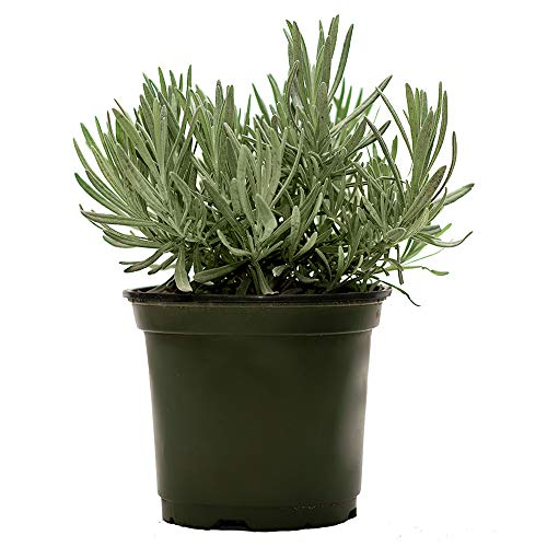 American Plant Exchange English Lavender Fragrant Herb Live Plant, 6' Pot, Purple Flowers