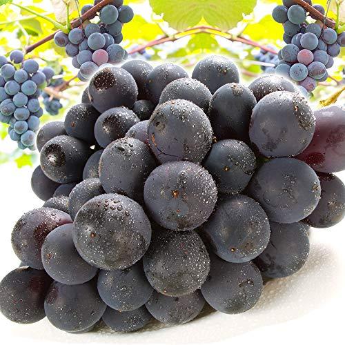 国華園 ぶどう 長野産 ご家庭用 種無し巨峰2房 (約400g×2房) 葡萄 フルーツ 果物 食品