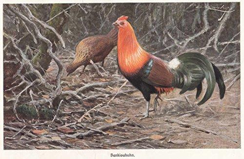 Vögel/Hühnervögel - Das Bankivahuhn. Abbildung von Hahn und Henne. [Grafik]