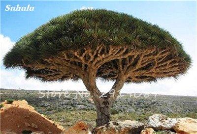 Livraison gratuite 10 Pcs rares Dracaena arbre alpiste Tree Island Sang (Dracaena draco) voyantes, Jardin des plantes exotiques 13 Diy