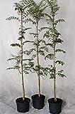 Müllers Grüner Garten Shop Eberesche Vogelbeere Sorbus aucuparia Wildfruchtgehölz Heister mit ca. 80-120 cm 5 Liter Topf